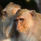 Monkeys grooming Stock Photo