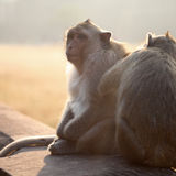 Monkeys grooming Royalty Free Stock Photography