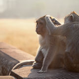 Monkeys grooming Stock Image