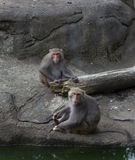 Monkeys Grooming and lounging around Stock Photography