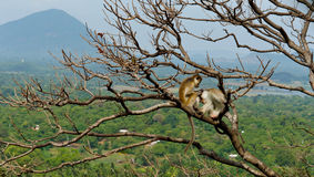 Monkeys grooming in a tree Royalty Free Stock Photos