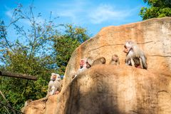 Monkeys group in Cologne zoo. Monkeys group in a zoo having fun together Stock Photo