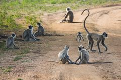 Monkeys group on the road. Royalty Free Stock Images
