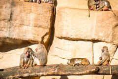 Monkeys group in Cologne zoo. Monkeys group in a zoo having fun together Royalty Free Stock Images