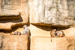 Monkeys group in Cologne zoo. Monkeys group in a zoo having fun together Royalty Free Stock Image