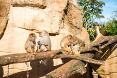 Monkeys group in Cologne zoo. Monkeys group in a zoo having fun together Stock Photos