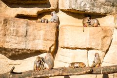 Monkeys in zoo. Monkeys group in a zoo having fun together Stock Images