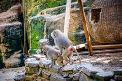 Monkeys in a zoo mating. Monkeys group in a zoo having fun together Royalty Free Stock Image