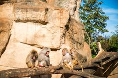 Monkeys group in a zoo. Having fun together Royalty Free Stock Images