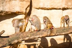 Monkeys group in a zoo. Having fun together Royalty Free Stock Image