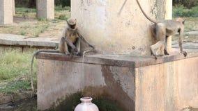 Monkeys in Hampi stock footage