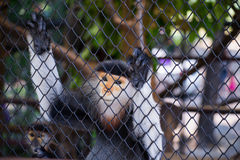 Monkeys hang in the cage Stock Photos