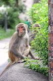 Monkeys in Hong Kong. Monkeys in Kam Shan Country Park, Hong Kong Royalty Free Stock Photography