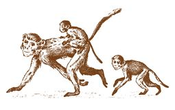Monkeys or humanoid wild animals. family in nature. engraved hand drawn in old sketch, vintage style. Monkeys or humanoid wild animals. family in nature stock illustration