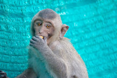 Monkeys il ritratto Immagine Stock Libera da Diritti