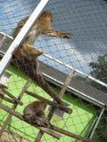 Monkeys In ZOO Stock Images
