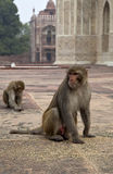 The monkeys in India Royalty Free Stock Photo