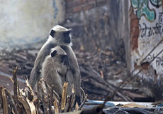 Monkeys in India Royalty Free Stock Image