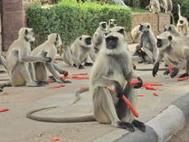 Monkeys in India. Monkeys eating carrots in India, New Delhi stock photography