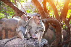 Monkeys in India. Two Monkeys searching fleas in their fur in Mamallapuram, Tamil Nadu, India stock images