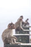 Monkeys in Indian roadside Royalty Free Stock Photo