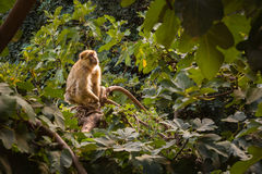 Monkeys inhabit surrounding woodland waterfall Ozoud in Morocco. Royalty Free Stock Photography