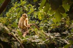 Monkeys inhabit surrounding woodland waterfall Ozoud in Morocco. Royalty Free Stock Photo