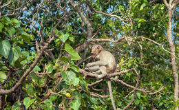 Monkeys on the island Koh Ped Royalty Free Stock Images