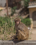 Monkeys in Jaipur Royalty Free Stock Photography
