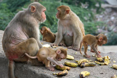 Monkeys in Japipur Royalty Free Stock Image