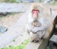 Monkeys Stock Photography