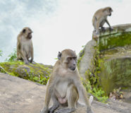 Monkeys in the jungle Royalty Free Stock Photography