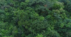 Monkeys in the jungle. From a height, jump over the crowns of trees stock footage