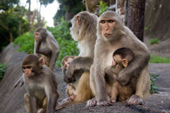 Monkeys in jungle on the mountain Royalty Free Stock Photo