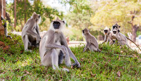 Monkeys in jungles of Sri Lanka Stock Images