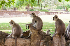 Monkeys in jungles of Sri Lanka Stock Photos