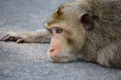Monkeys le portrait Image stock