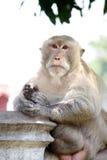 Monkeys le portrait Image libre de droits
