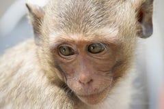 Monkeys le portrait Photographie stock libre de droits