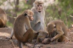 Monkeys le toilettage de social Images libres de droits
