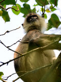 Monkeys in the living nature Stock Photography