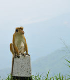 Monkeys in the living nature Stock Image