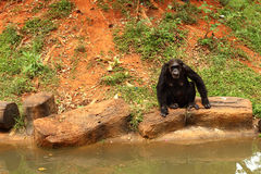 Monkeys living in the wild. A Monkeys living in the wild Royalty Free Stock Image