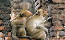 Monkeys are looking anything ? Royalty Free Stock Photos