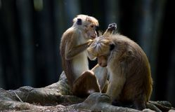 Monkeys looking for fleas from each other. Two monkeys Macaca Sinica from Sri Lanka sitting on old roots on ground and looking for fleas from each other. Huge Royalty Free Stock Images