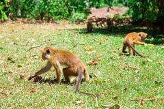 Monkeys looking for food, tropical fauna on Ceylon Stock Photos