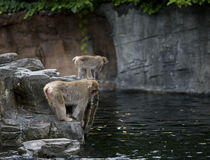 Monkeys looking into water. Monkeys on a rock looking into water stock image