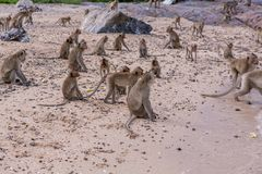 Monkeys. A lot of monkeys on the monkeys island Royalty Free Stock Image