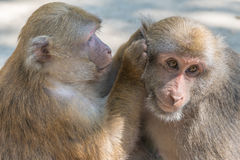 Monkeys of love. Monkeys family of love together Royalty Free Stock Photography