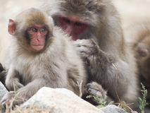 Monkeys. A macaque grooms a young snow monkey Stock Photos